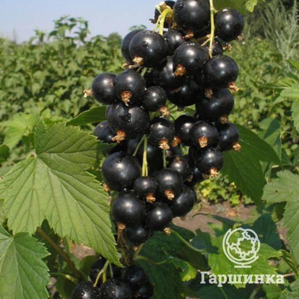 Сорт черной смородины универсального назначения катюша