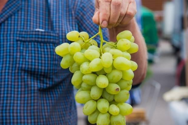 Неукрывные сорта винограда: амурские гибриды