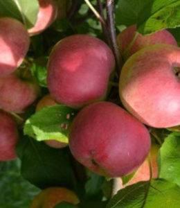 Характеристика яблони папироянтарное