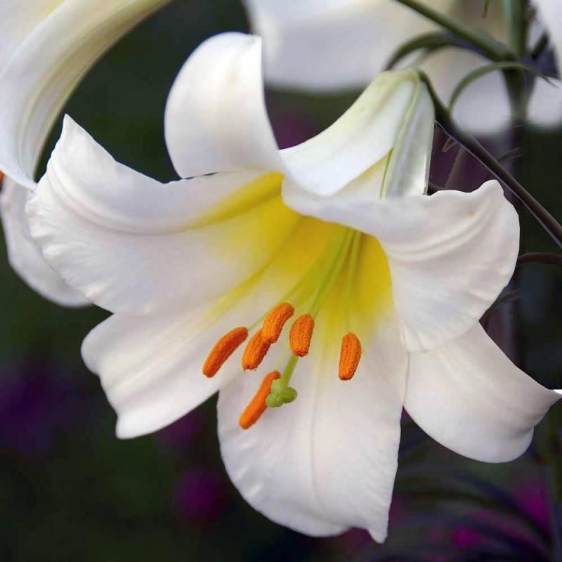 Самые красивые сорта трубчатых лилий
