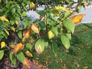 Пожелтели листья яблони в июне – что делать и как быть