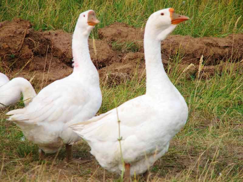 Как разводятся гуси линда: характеристики породы