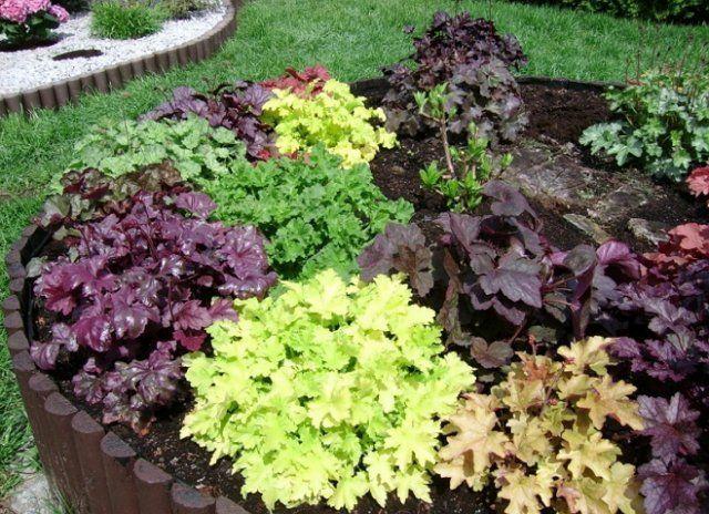 Близкое знакомство с оригинальными видами садовой гейхеры