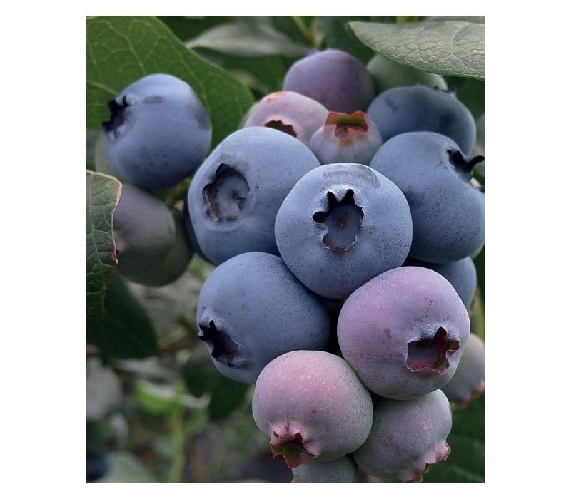 Урожайность и описание голубики «блюголд»