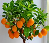 Апельсин: описание плода, листьев, цветка, сорта вечнозеленого дерева, родина, польза и вред