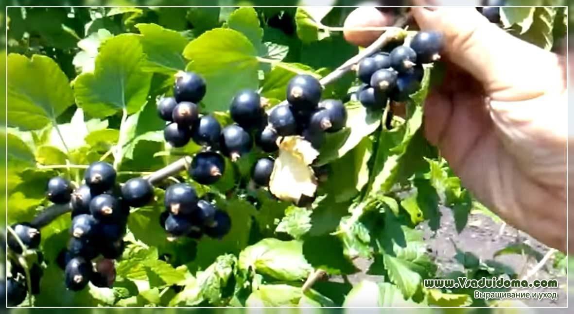 Уход за черной смородиной и выращивание: подкормка, борьба с вредителями