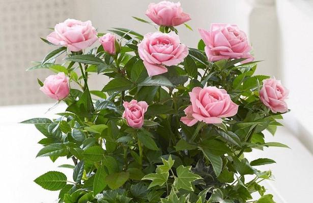 Разновидности комнатных роз и уход за ними в домашних условиях