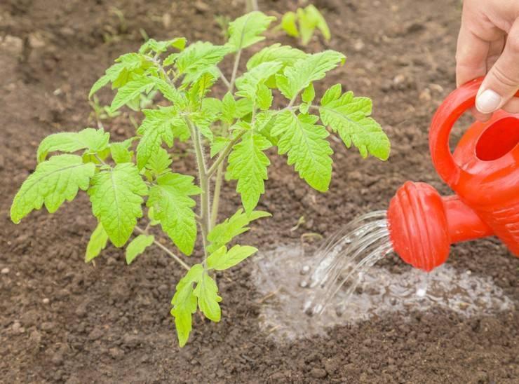 Как и чем подкармливать помидоры в открытом грунте