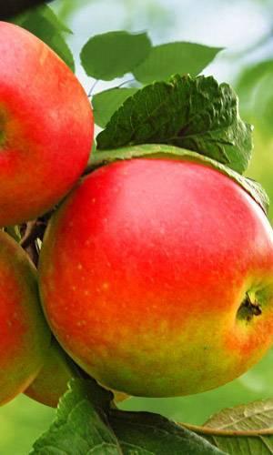 Яблоня краса свердловска: описание, фото свердловская красавица