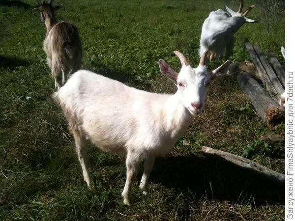 Отравление у коз