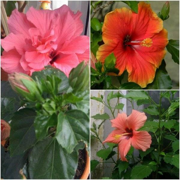 Цветок гибискус - уход в домашних условиях, обрезка, как заставить цвести?