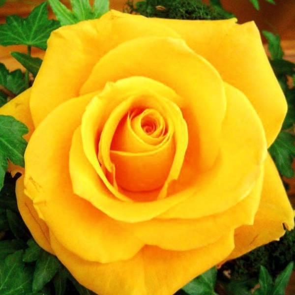 Яркая и эффектная роза керио на даче: правила посадки и ухода