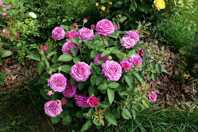 Rosa 'heidi klum rose' — википедия переиздание // wiki 2