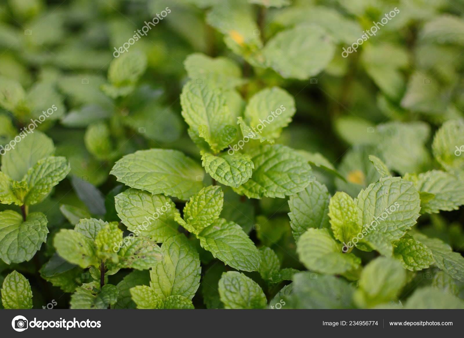Лекарственное растение мята