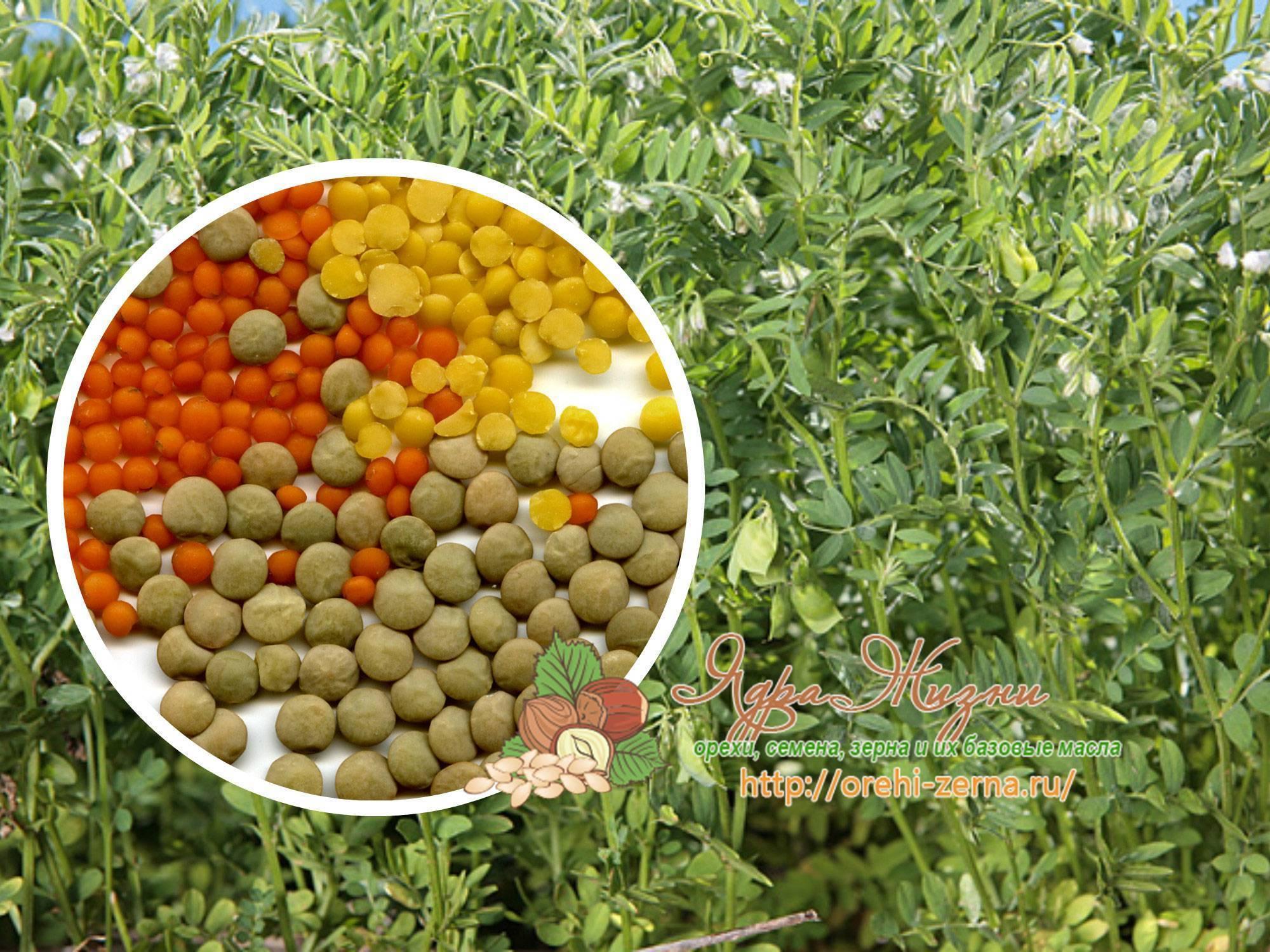 Агротехника выращивания чечевицы