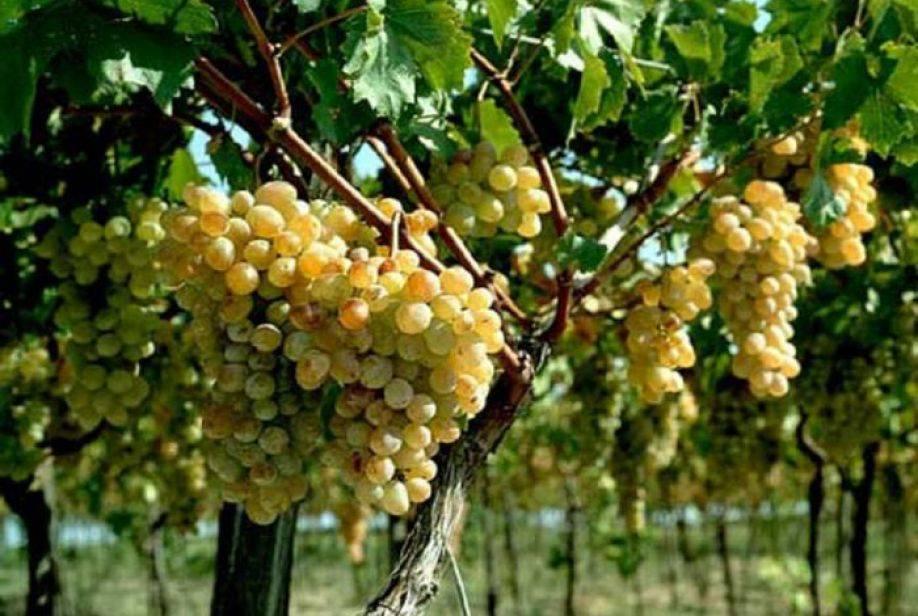 Что посадить под виноградом можно, а что нельзя