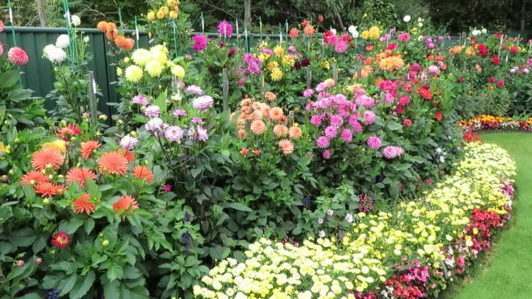 Выращивание георгин в саду: видео, фото, схемы посадки из семян, уход. однолетние и многолетние цветы в открытом и не только грунте
