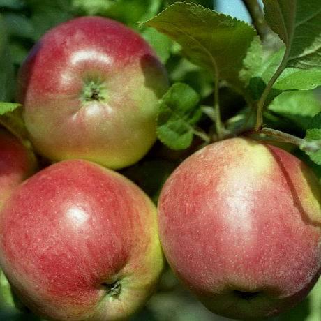Яблоня 'веньяминовское'