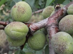Борьба с монилиозом абрикосов химическими и народными средствами, фото «ожогов»