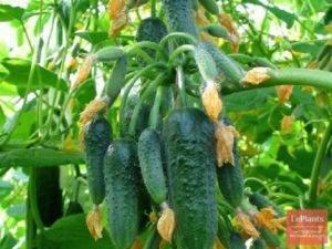 Высокоурожайные сорта огурцов для открытого грунта самоопыляемые