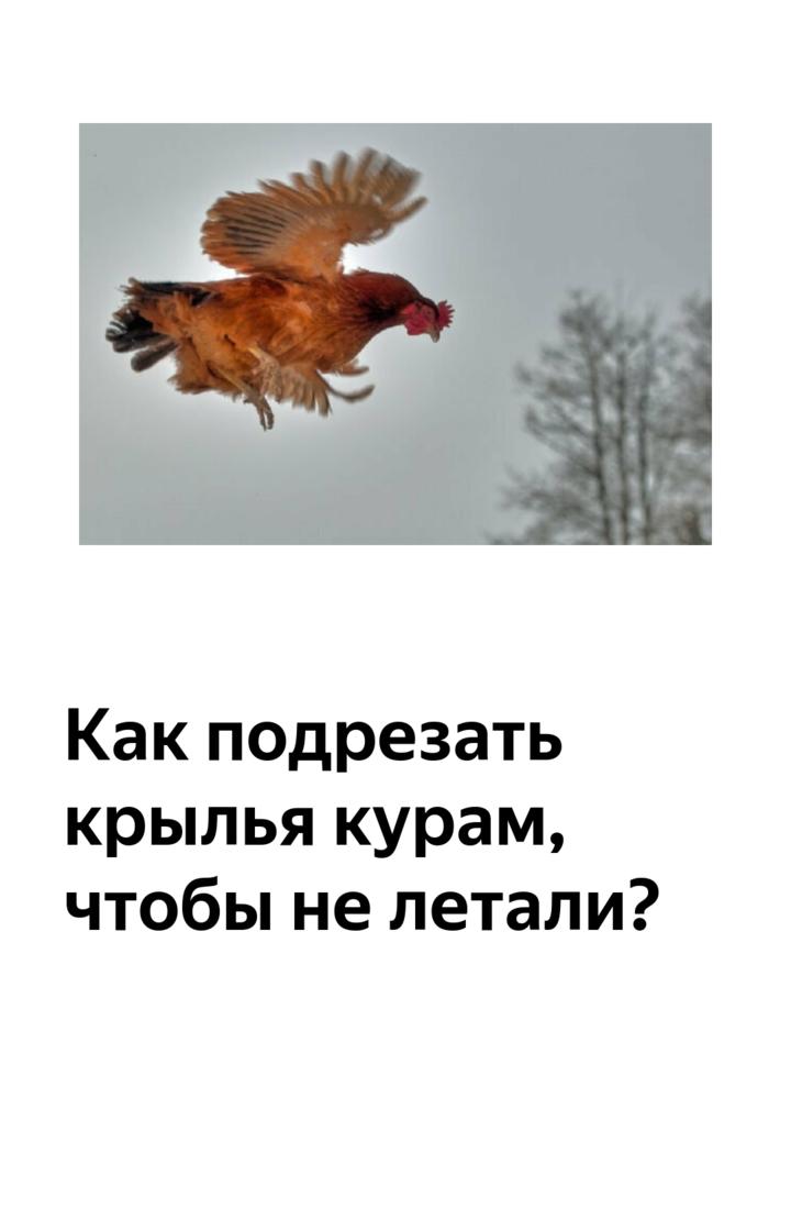 Как и когда подрезать крылья индюкам, чтобы пернатые не летали — раскрываем суть