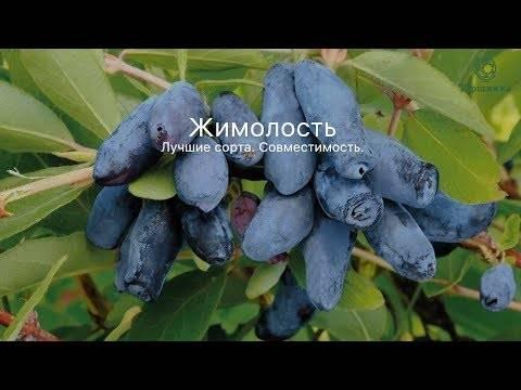 Сибирская съедобная жимолость: описание сортов, крупные сладкие ягоды