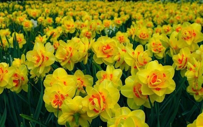 Как пересадить нарциссы? как пересаживать их после цветения? правила пересадки с одного места на другое на улице. лучше рассаживать их весной или осенью?