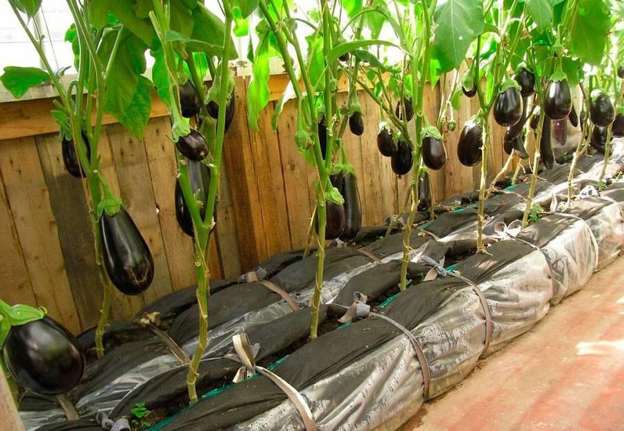 Баклажаны - выращивание и уход в теплице, все тонкости процесса