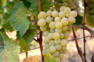 5 простых способов защиты виноградника от весенних заморозков