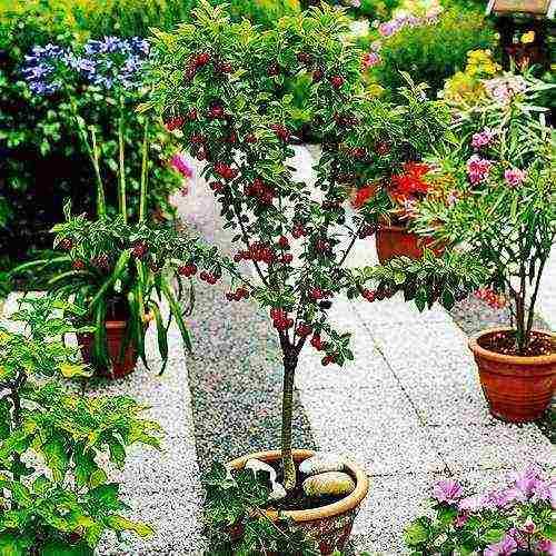 Правила выращивания колоновидных сортов черешни