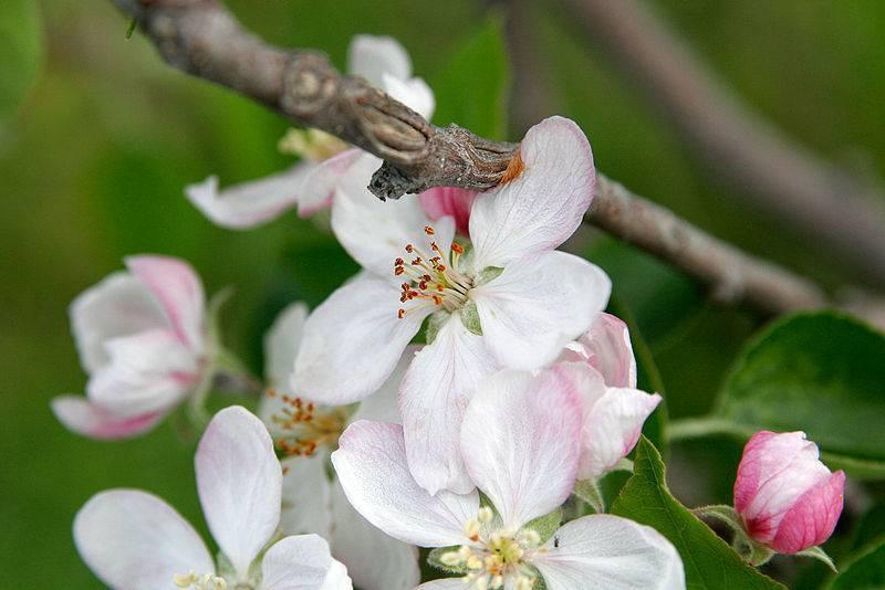 Следует ли обрывать первые цветы яблони, зацвела первый год, кто посоветовал не помню - оборвать первоцвет?