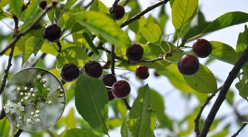 8 причин, почему не плодоносит слива и что с этим делать