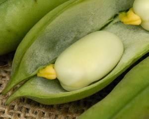 Бакопа: характеристика видов и сортов, условия выращивания