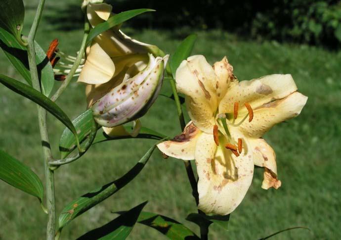 Болезни садовых цветов и их лечение