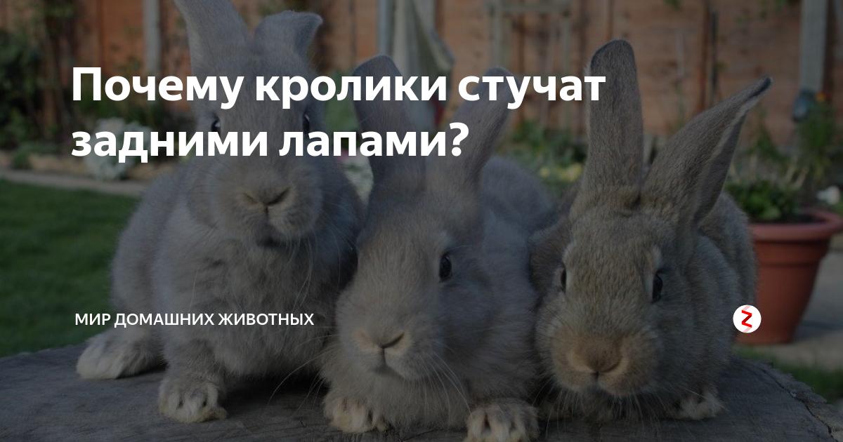 Почему кролики стучат задними лапами ночью