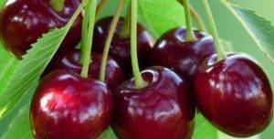 Характеристика и правила выращивания абрикоса чёрный принц