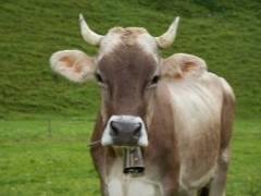 Причины неудачной случки коров