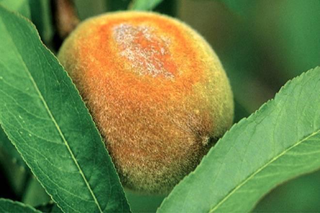 Болезни и вредители персика — как от них избавиться?