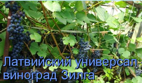 Виноград гибридной формы «зилга»