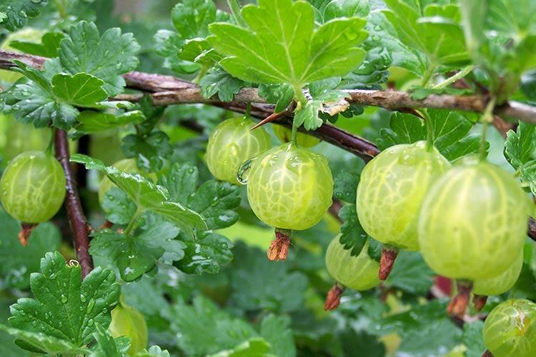 Как выращивать крыжовник: правильный уход, увеличение урожая