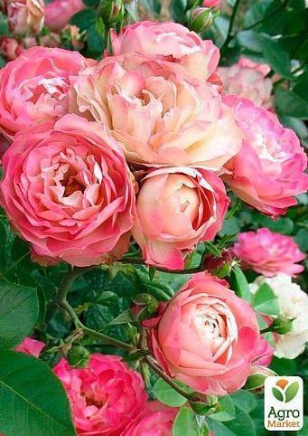 Уход за розами летом в саду. подкормка, размножение, обрезка