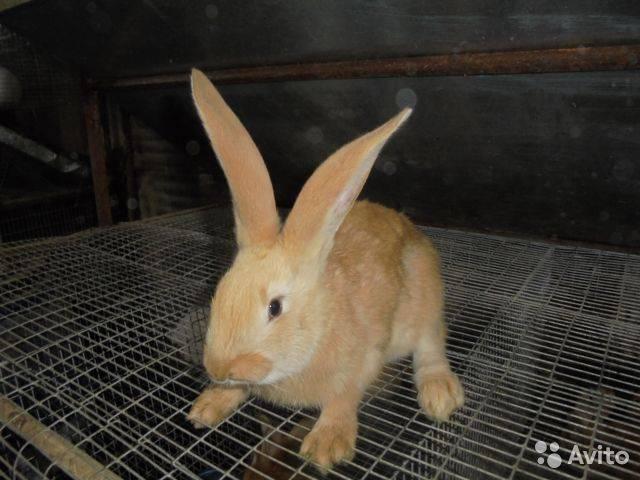 Кролики породы ризен - немецкий великан, описание, разведение, фото и видео | россельхоз.рф