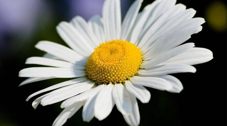 О самых красивых разновидностях садовых многолетних ромашек (описания)