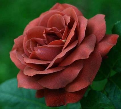 Роза терракота (terracotta)