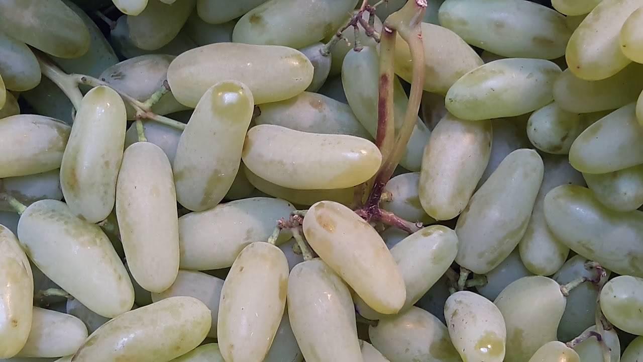 Виноград дамский пальчик – классика виноградарства