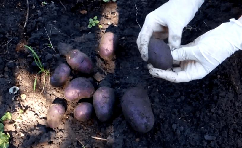 Картофель елизавета: описание и характеристика
