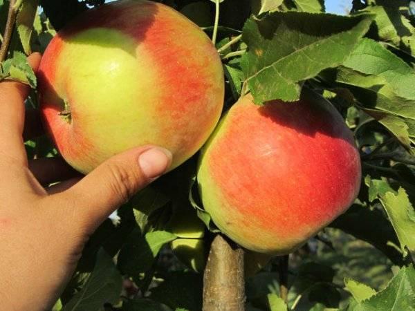 Сорт яблони лигол — описание, особенности выращивания