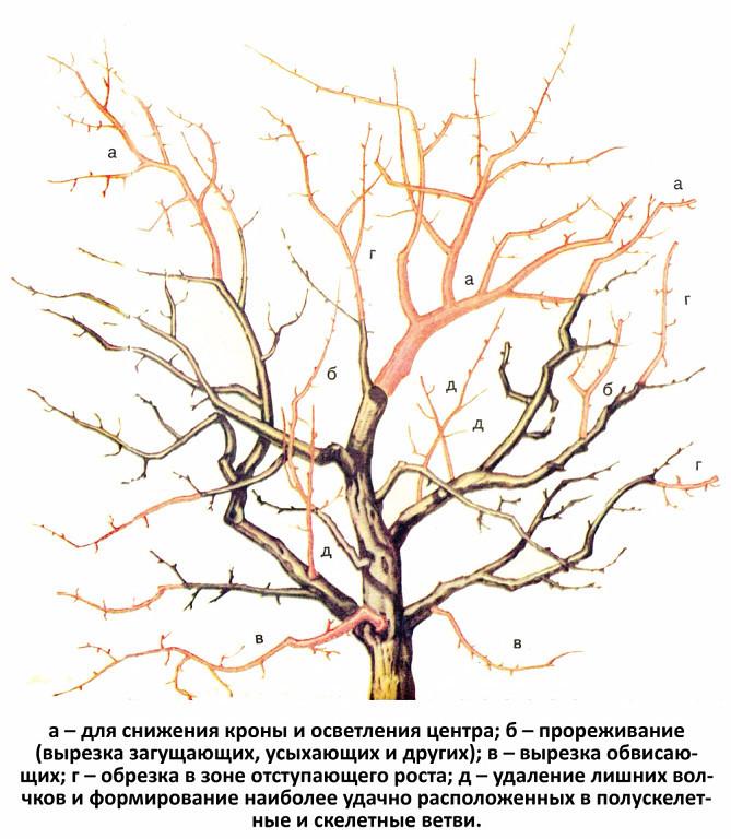 Обрезка абрикоса осенью – схемы и полезные советы для начинающих