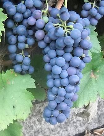 Саперави северный — один из традиционных тёмных сортов винограда для вина