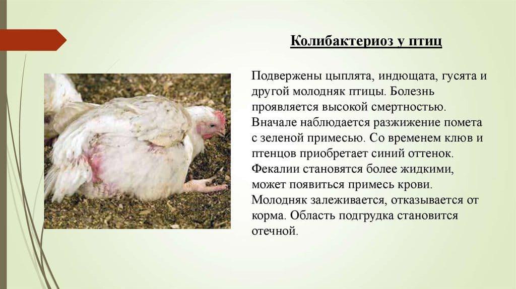 Лечение и профилактика поноса у кур и цыплят